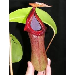 Nepenthes ventricosa x truncata 20 cm