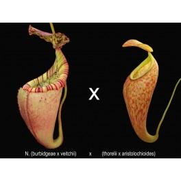 N. (burbidgeae x veitchii) x (thorelii x aristolochioides) 7-9cm