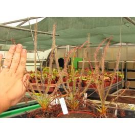 Drosera spiralis, střední rostlina 10-12 cm