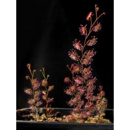 Drosera basifolia, květináč s 5+ rostlinami