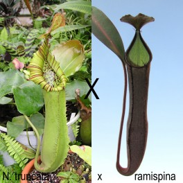 Nepenthes truncata x ramispina, 12-15 cm