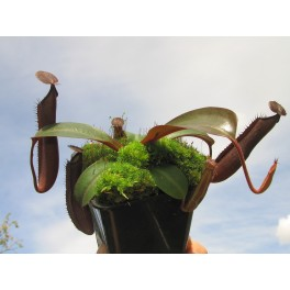 Nepenthes truncata x ramispina, 8-10 cm