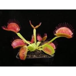 Dionaea muscipula (mucholapka podivná) - základní forma, střední rostlina - 4-5 cm