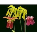 Kolekce kvetoucích špirlic malá