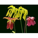 Small collection of blooming Sarracenia