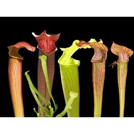 Velká kolekce poddruhů Sarracenia rubra