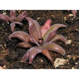 Pinguicula 'Red Starfish' střední - 3 ks rostliny