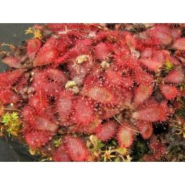 Drosera tomentosa var. glabrata, 3 rostliny vel. 2 cm