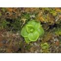 Pinguicula antarctica, 2 střední rostliny