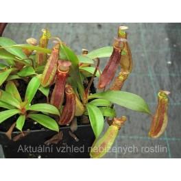 Nepenthes ramispina x reinwardtiana, 7-9 cm