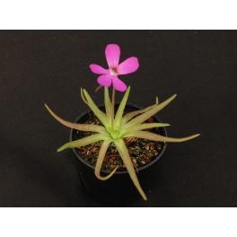 Pinguicula gypsicola x moctezumae, 3 střední rostliny