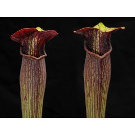 Sarracenia alata var. atrorubra MK A39 dospělá rostlina