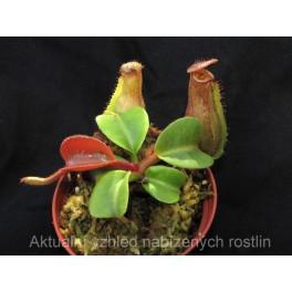 Nepenthes truncata - základní forma, 5 - 6 cm