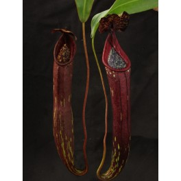 """Nepenthes """"Rokko"""" x stenophylla clone  A (Exotica Plants) 20 cm"""