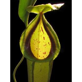 "Nepenthes ""Predator"" - Exotica Plants - clone A - female"