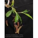 Nepenthes truncata x aristolochioides klon B - samice