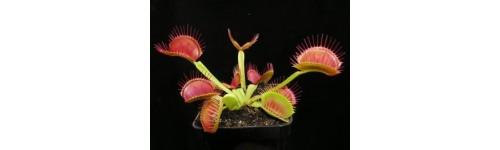 Mucholapka podivná (Dionaea muscipula)